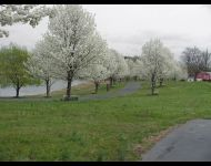 Pear trees in bloom from main house to farmhouse